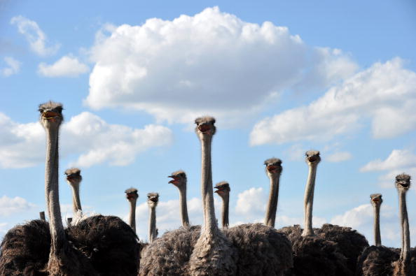 Ostrich festival | local Chandler lawyer - flock of Ostriches